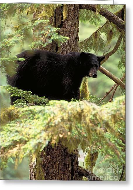 Black Bear Climbing Tree Greeting Cards - Black Bear. Southeast Alaska Greeting Card by Art Wolfe
