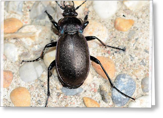 Antenna Mixed Media Greeting Cards - Black beetle  Greeting Card by Toppart Sweden