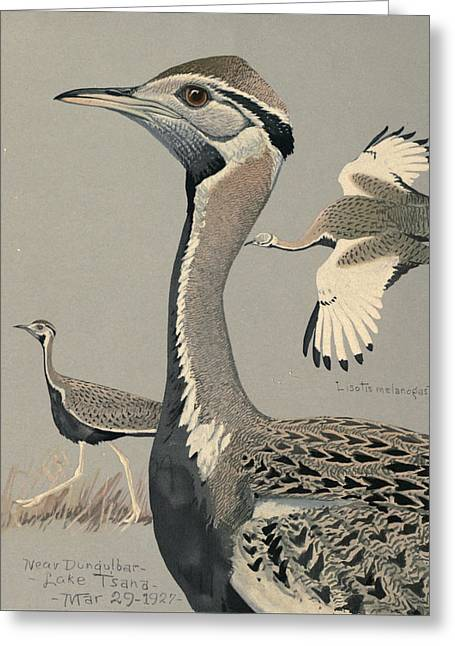 Agassiz Greeting Cards - Black Bellied Bustard Greeting Card by Louis Agassiz Fuertes