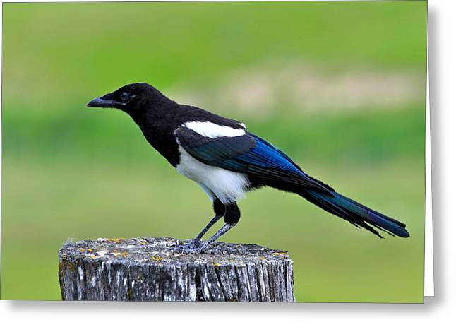 Magpies Greeting Cards - Black billed Magpie Greeting Card by Karon Melillo DeVega