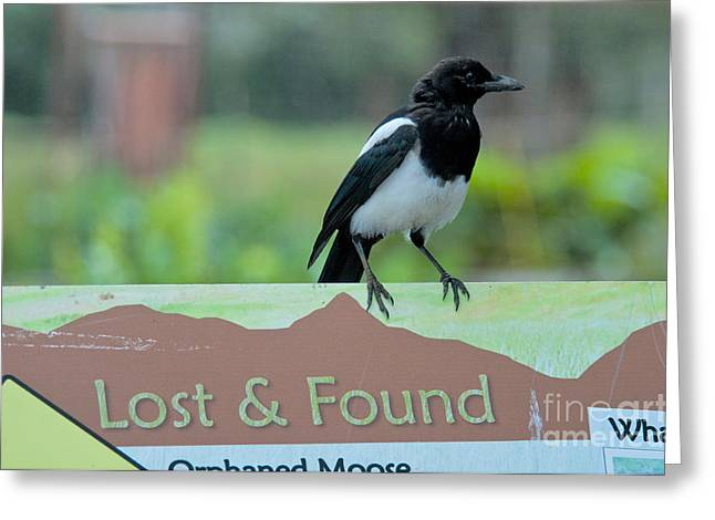 Pica Greeting Cards - Black-billed Magpie Greeting Card by Mark Newman
