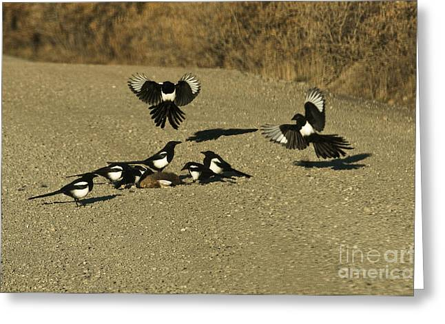 Scavenge Greeting Cards - Black-billed Magpies At Roadkill Greeting Card by Ron Sanford