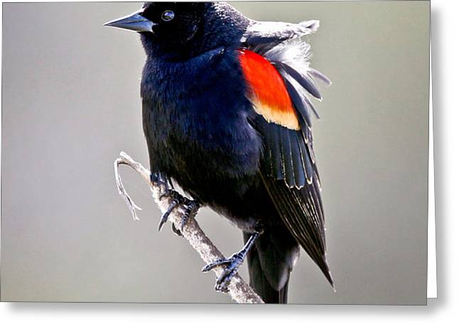 Black Bird Greeting Card by Athena Mckinzie