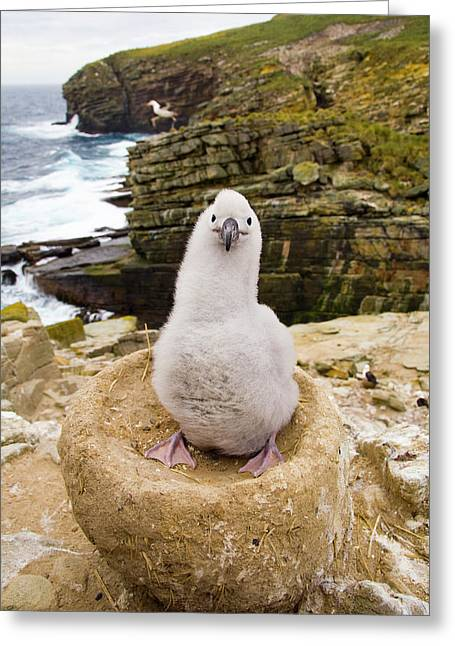 Black-browed Albatross Chick Falklands Greeting Card by