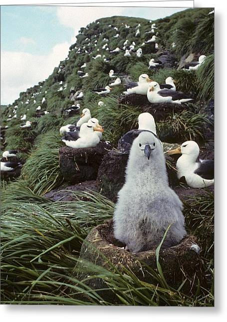 Mud Nest Greeting Cards - Black-browed Albatross Chick Sitting On Greeting Card by Joel Bennett