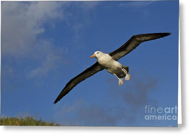 Diomedea Melanophris Greeting Cards - Black-browed Albatross Greeting Card by Jean-Louis Klein and Marie-Luce Hubert