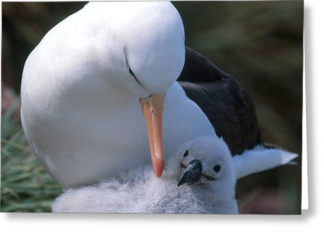 Black-browed Albatross With Chick Greeting Card by Art Wolfe