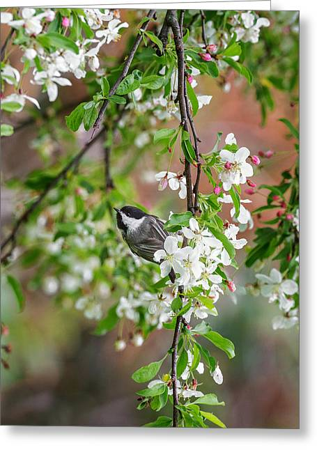 Birds With Flowers Greeting Cards - Black Capped Chickadee Greeting Card by Bill  Wakeley