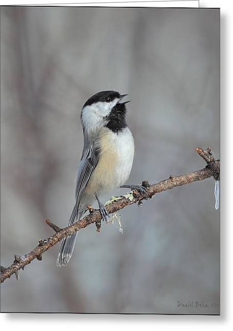 Ohio Pyrography Greeting Cards - Black Capped Chickadee Calling Greeting Card by Daniel Behm