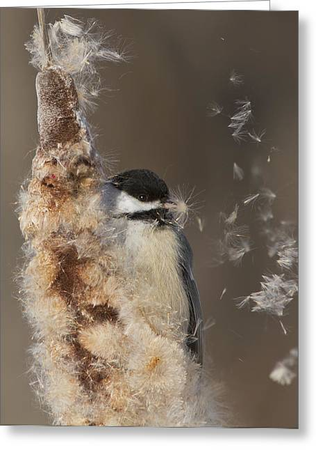 Bulrushes Greeting Cards - Black-capped Chickadee in winter Greeting Card by Mircea Costina Photography