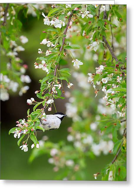 Birds With Flowers Greeting Cards - Black Capped Chickadee Portrait Greeting Card by Bill  Wakeley