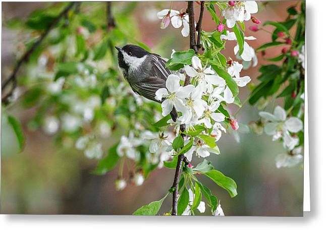 Birds With Flowers Greeting Cards - Black Capped Chickadee Square Greeting Card by Bill  Wakeley