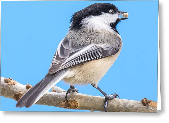 Birdwatching Greeting Cards - Black-Capped Chickadee with safflower seed Greeting Card by Jim Hughes