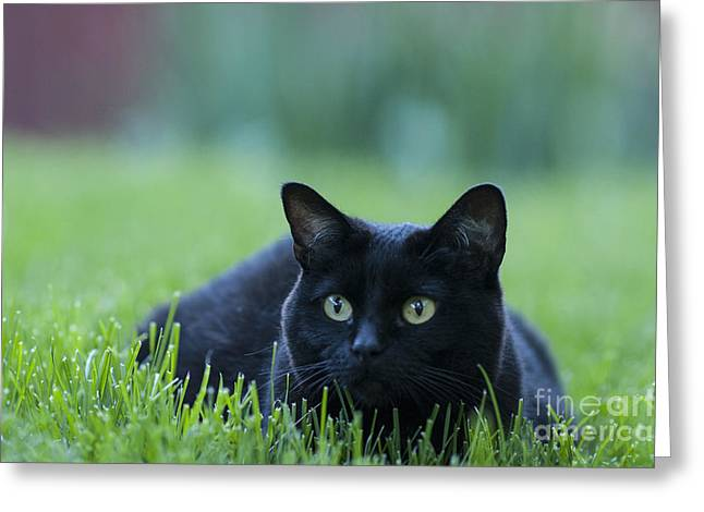 One Animal Greeting Cards - Black Cat Greeting Card by Juli Scalzi