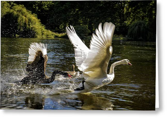 White River Scene Photographs Greeting Cards - Black Chases White Greeting Card by Paul W Sharpe Aka Wizard of Wonders