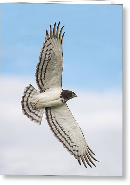 Flying Animal Greeting Cards - Black-chested Snake Eagle Circaetus Greeting Card by Panoramic Images