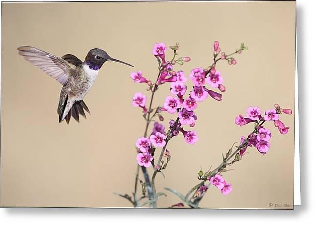 Black Canyon Pyrography Greeting Cards - Black Chinned Hummingbird Greeting Card by Daniel Behm