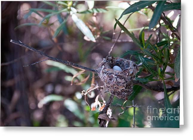 Southwestern Birds Greeting Cards - Black-chinned Hummingbird Nest Greeting Card by Mark Newman