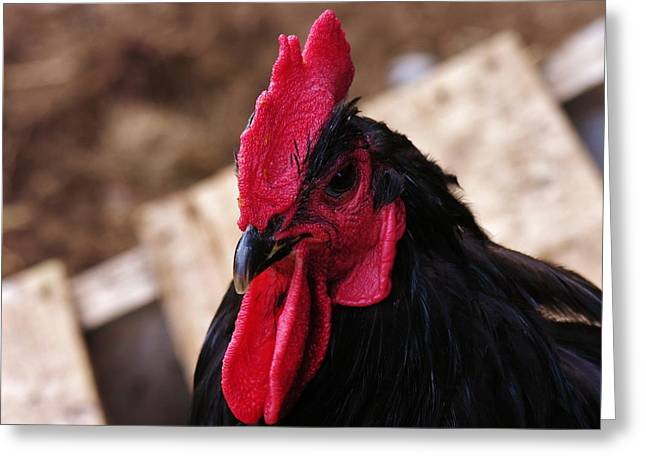 Vermont Rooster Greeting Cards - Black Cochin Rooster Greeting Card by Sherman Perry