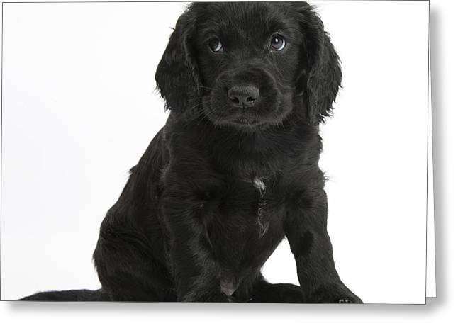 House Pet Greeting Cards - Black Cocker Spaniel Puppy Greeting Card by Mark Taylor