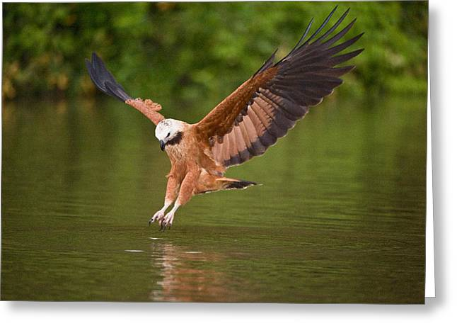Reflections In River Greeting Cards - Black-collared Hawk Busarellus Greeting Card by Panoramic Images