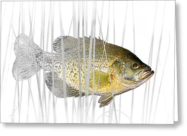 Crappies Greeting Cards - Black Crappie Pan Fish in the Reeds Greeting Card by Randall Nyhof