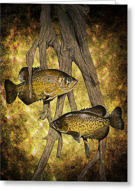 Crappies Greeting Cards - Black Crappies a Fish Image No 0143 Amber version Greeting Card by Randall Nyhof