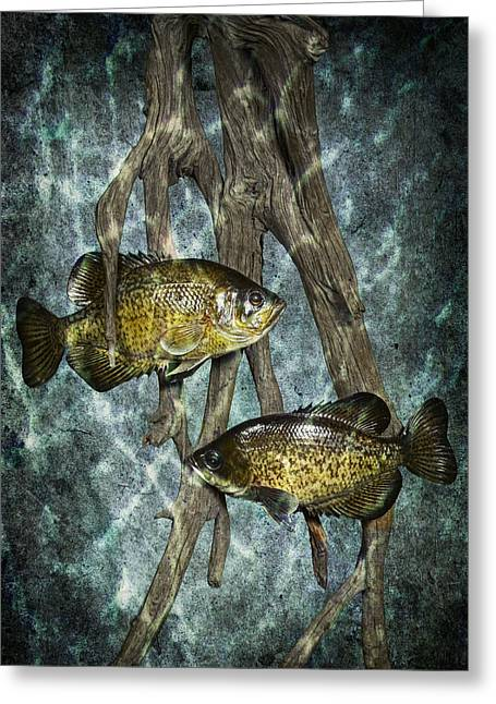 Crappies Greeting Cards - Black Crappies a Fish Image No 0143 Blue version Greeting Card by Randall Nyhof