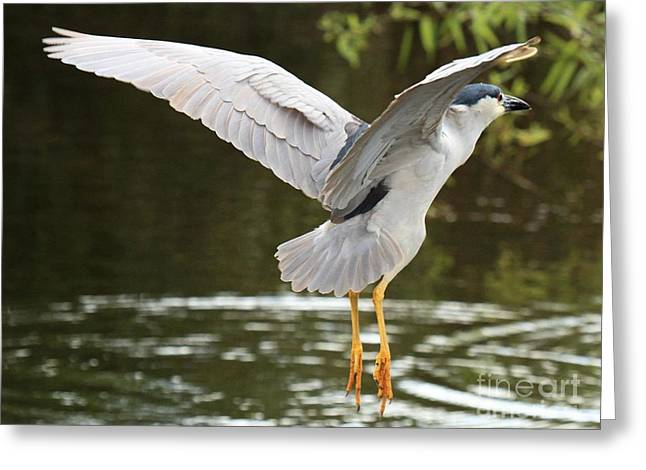Crowned Heron Greeting Cards - Black Crown In Flight Greeting Card by Adam Jewell