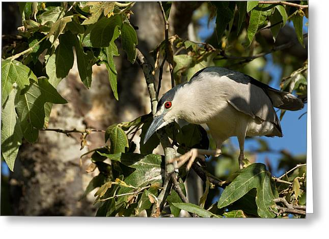 Raven Note Cards Greeting Cards - Black-crowned Heron Looking for Nesting Material Greeting Card by Kathleen Bishop