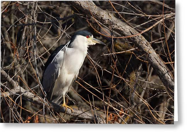 Raven Note Cards Greeting Cards - Black-crowned Night Heron Greeting Card by Kathleen Bishop