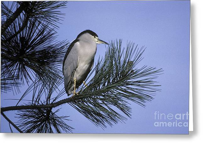 Crowned Heron Greeting Cards - Black-crowned Night Heron Greeting Card by Ron Sanford