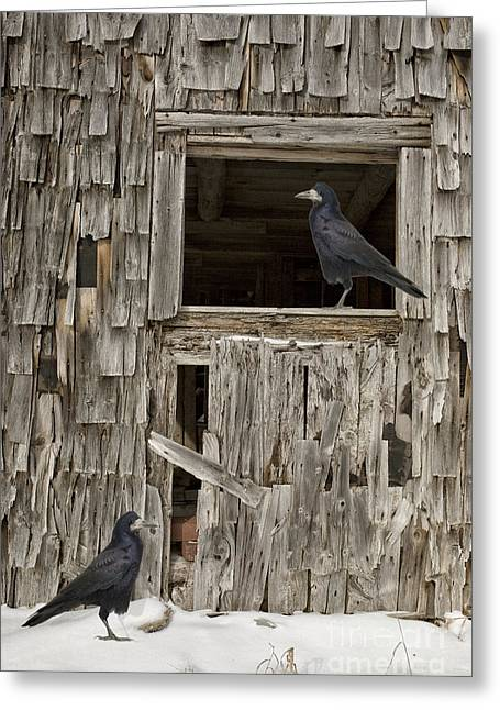 Winter Crows Greeting Cards - Black crows at the old barn Greeting Card by Edward Fielding