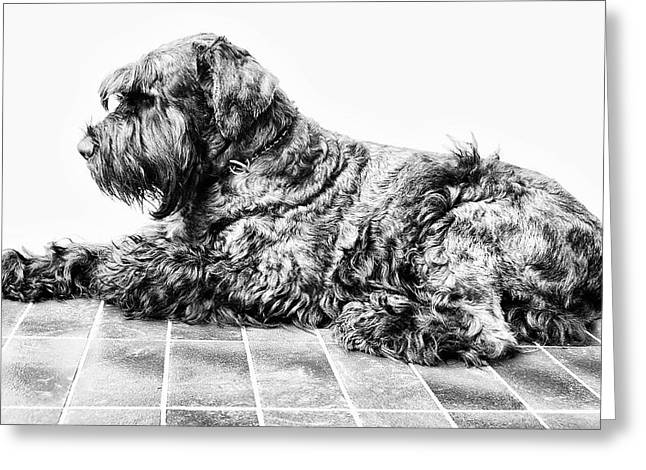 Giant Schnauzer Greeting Cards - Black dog Greeting Card by Andrei SKY