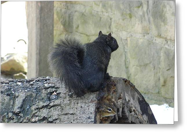 Eastern Fox Squirrel Greeting Cards - Black Eastern Fox Squirrel Brecksville Ohio Greeting Card by Nancy Spirakus