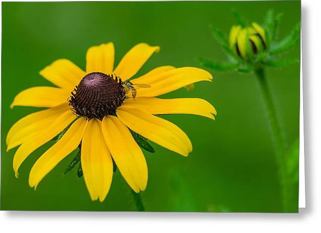 Pretty Brown Eyes Greeting Cards - Black Eyed Susan Greeting Card by Anthony Heflin