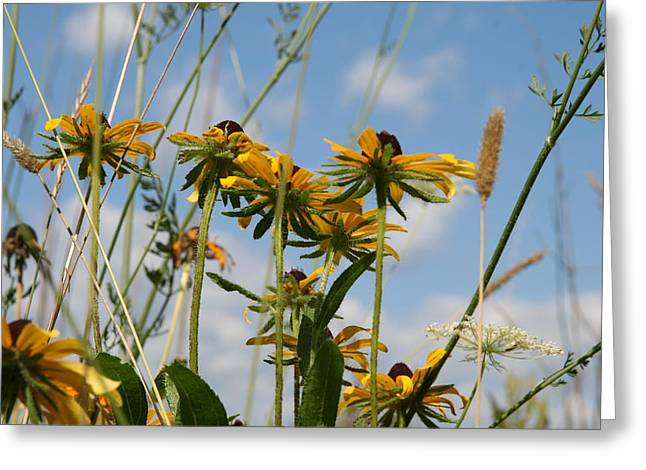 Wildflower Photography Greeting Cards - Black Eyed Susan Cluster  Greeting Card by Neal  Eslinger