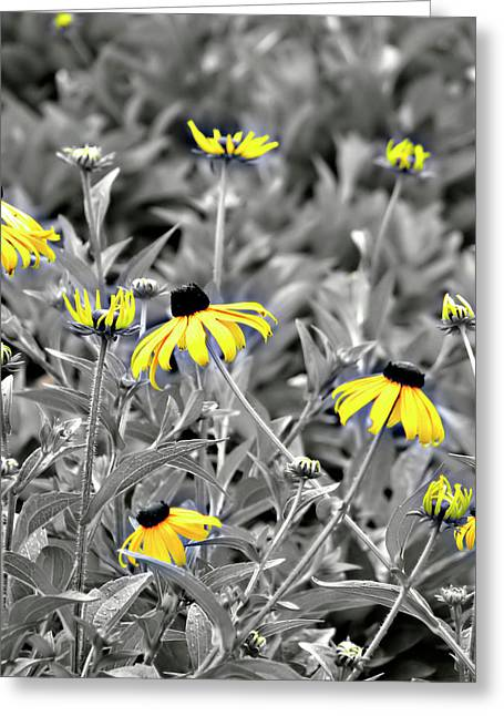 Stiff Greeting Cards - Black-Eyed Susan Field Greeting Card by Carolyn Marshall