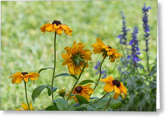 Kim Photographs Greeting Cards - Black eyed Susan in the Garden Greeting Card by Kim Hojnacki