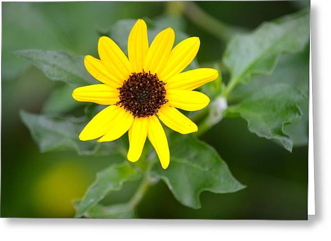 Jacksonville Greeting Cards - Black Eyed Susan Greeting Card by Richard Bryce and Family