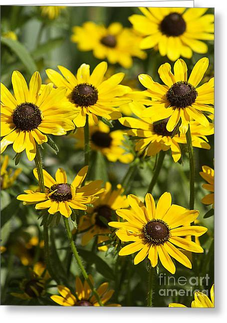 Photography By Govan. Vertical Format Greeting Cards - Black Eyed Susans Greeting Card by Andrew Govan Dantzler