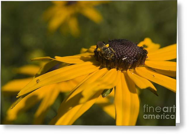 Pollenation Greeting Cards - Black Eyed suzy and bee Greeting Card by Darleen Stry