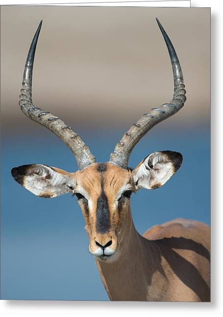 Animal Faces Greeting Cards - Black-faced Impala Aepyceros Melampus Greeting Card by Panoramic Images