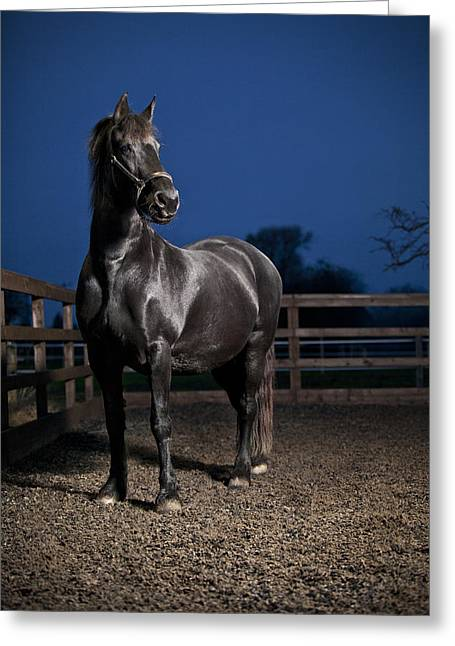 Horse Farm Greeting Cards - Black Fiesian Horse Greeting Card by Samuel Whitton