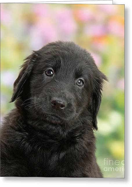 Black Flat Coated Retriever Puppy Greeting Card by Mark Taylor