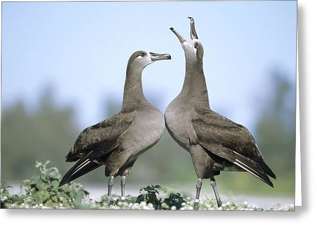 Black-footed Albatross Courtship Dance Greeting Card by Tui De Roy