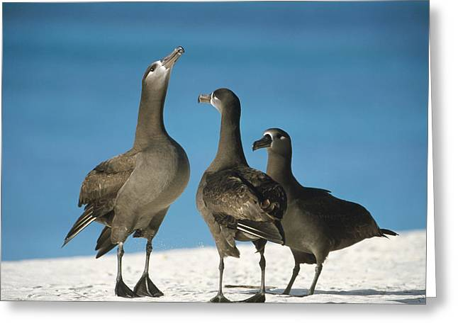 Wildlife Celebration Greeting Cards - Black-footed Albatross Gamming Group Greeting Card by Tui De Roy