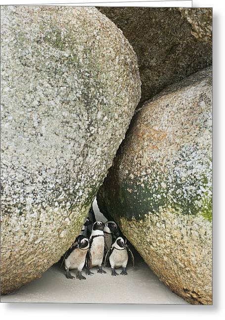 Beach Photos Greeting Cards - Black-footed Penguins Boulders Beach Greeting Card by Kevin Schafer