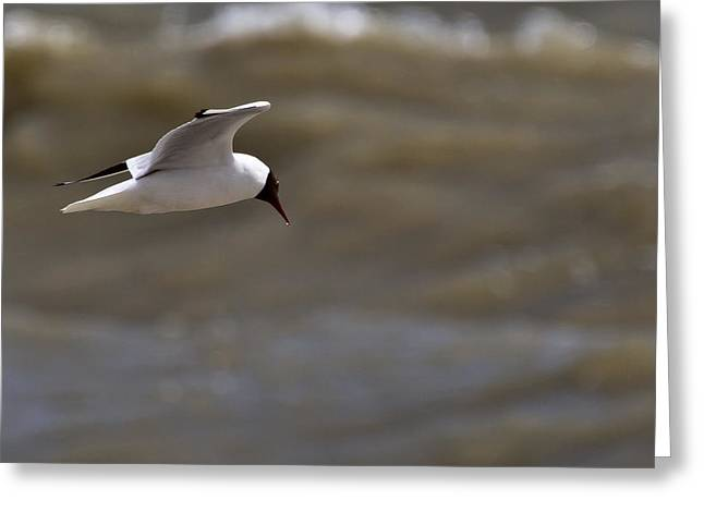 Bird Photography Greeting Cards - Black Headed Gull in flight Rye Harbour Kent England Greeting Card by Mr Bennett Kent