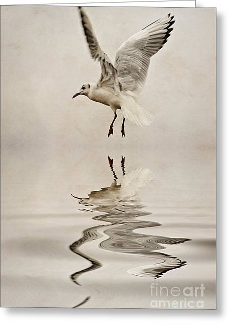 Gull Seagull Greeting Cards - Black-headed gull  Greeting Card by John Edwards